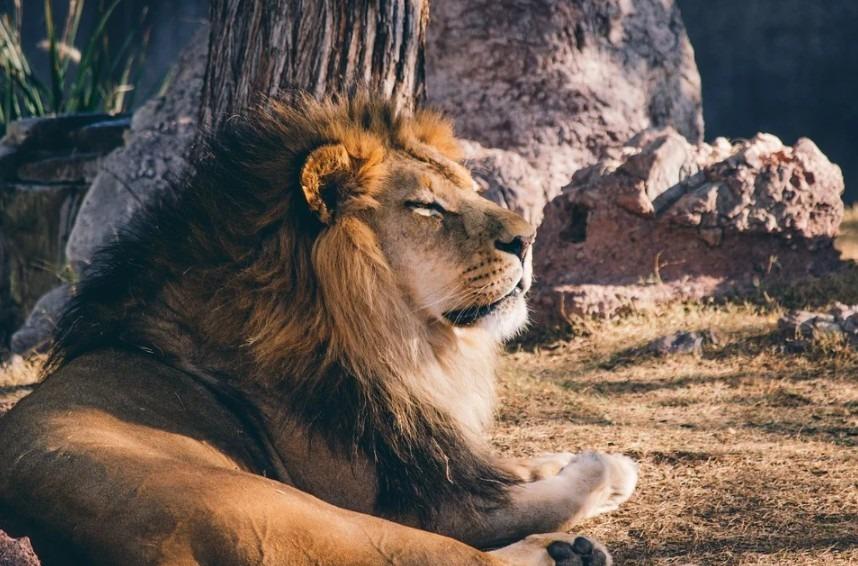 A candid shot of an African Lion