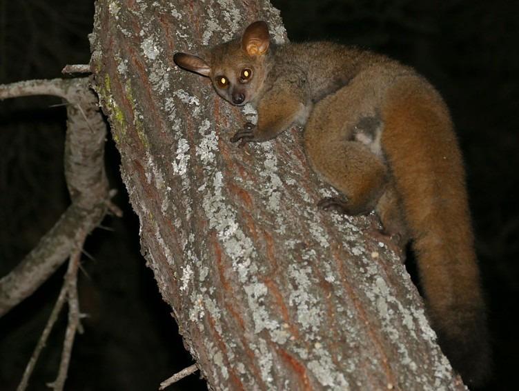 BUSHBABY (Thick-tailed) - Otolemur crassicaudatus