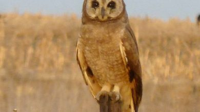 Photo of Marsh Owl